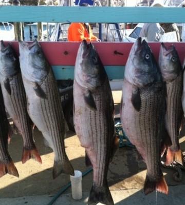 Stripers | Kott the Limit | Charter Fishing Ocean City NJ